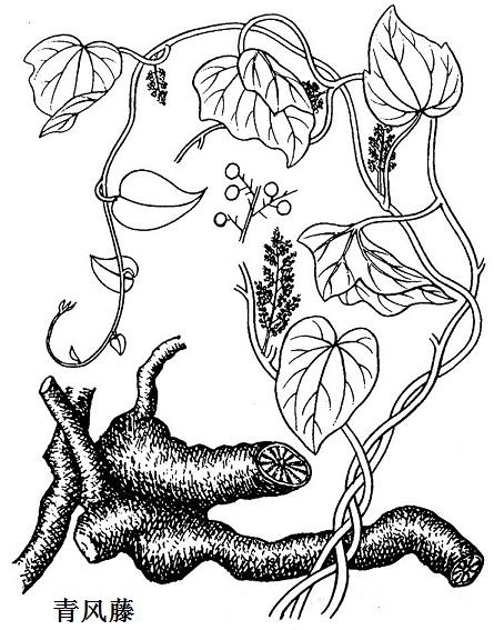 植物青风藤