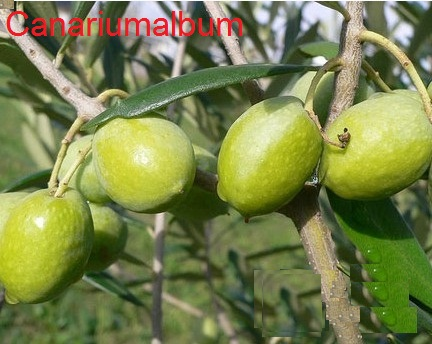 an image of the olive (Olea europaea) tree