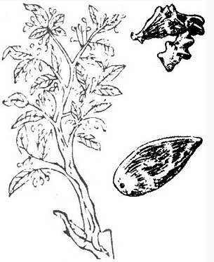 the picture of the gallic plant