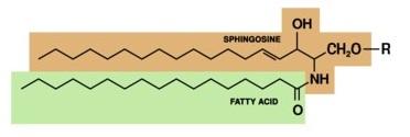 神经酰胺类物质的结构式