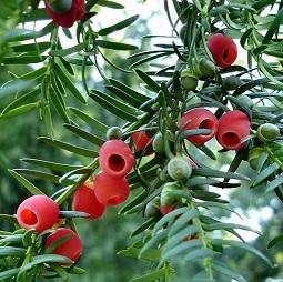 提取紫杉醇来源植物红豆杉