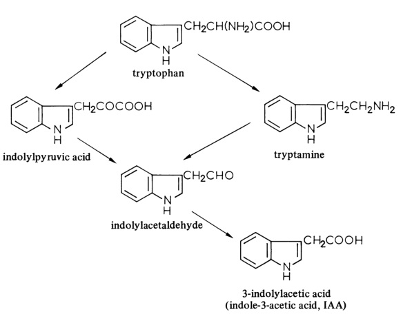 The biosynthesis of 3-indolylacetic acid