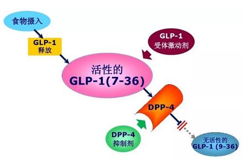 GLP-1与DPP-4降糖机制