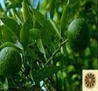厂家供应纯天然枳实提取物 辛弗林6%-98%