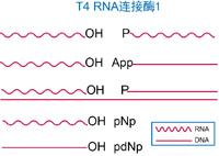 T4 RNA 连接酶1