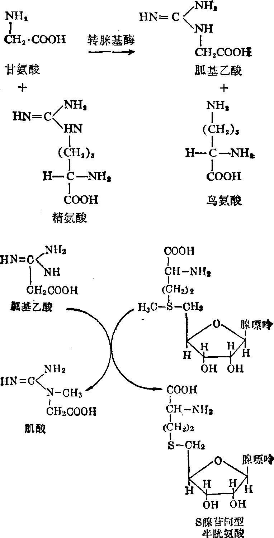 肌酸的生物合成