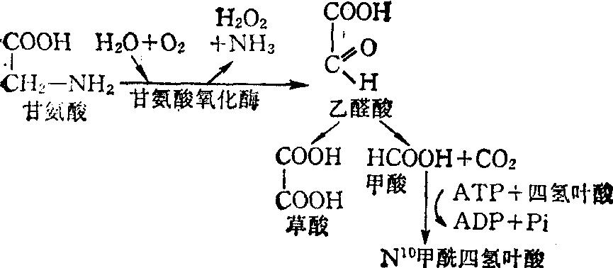 甘氨酸的氧化过程