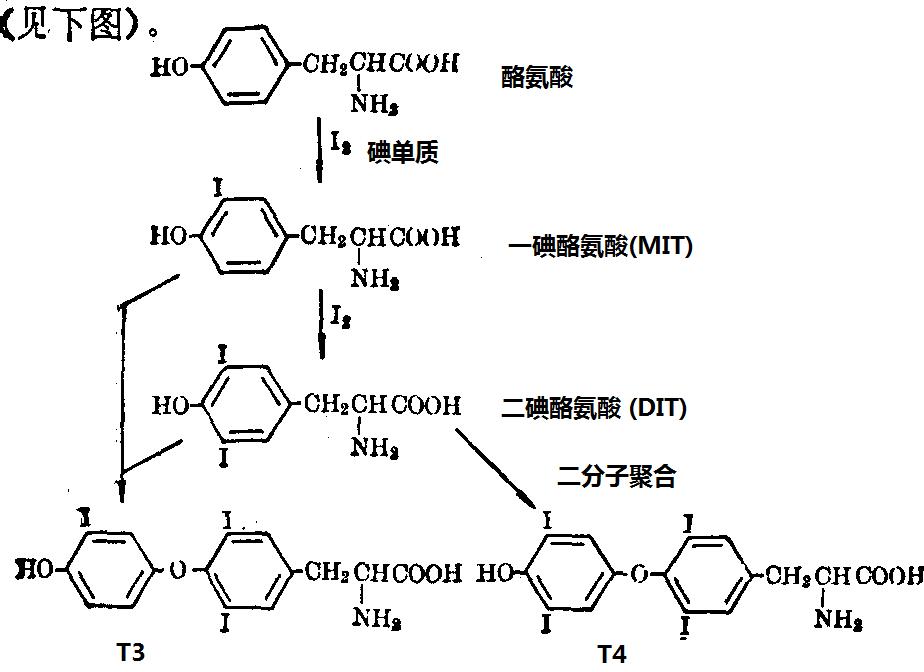 酪氨酸的碘化和T4、T3合成步骤