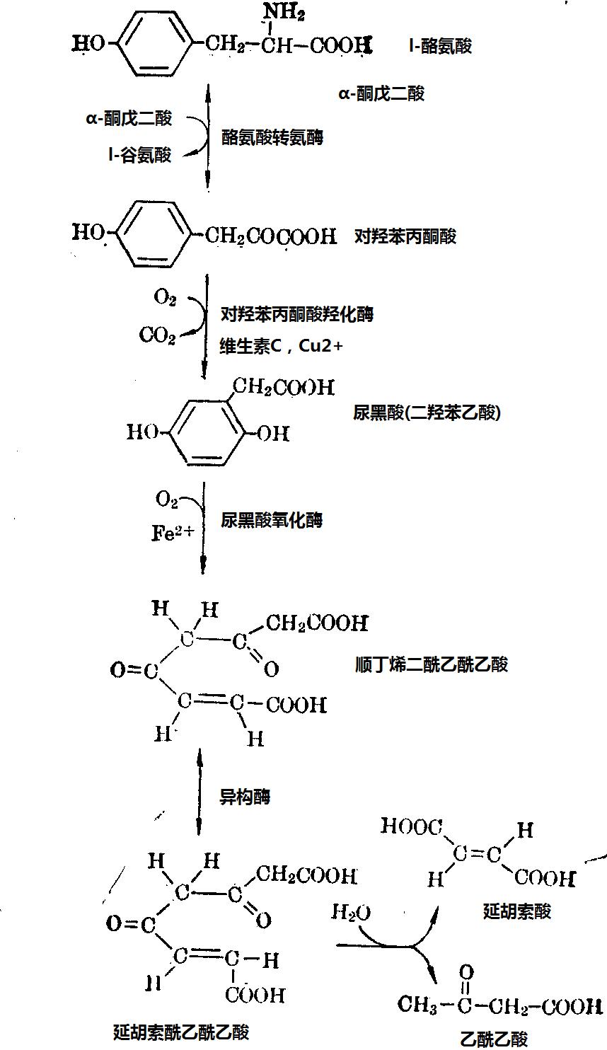 酪氨酸在人体代谢过程图