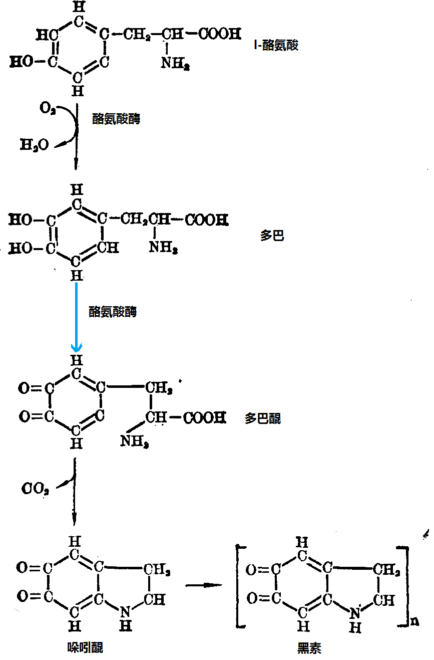 酪氨酸参与合成黑素反应路线图