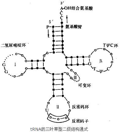 tRNA的三叶草型二级结构通式