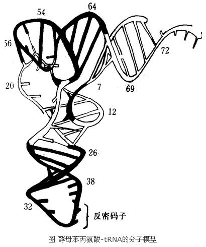 酵母苯丙氨酸-TRNA的分子模型