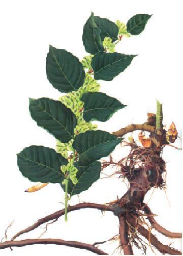 虎杖植物图片