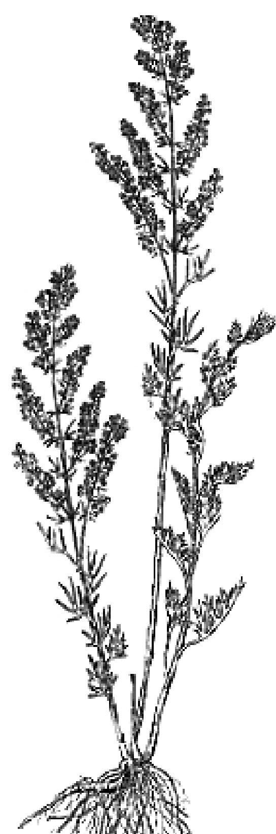 茵陈蒿植物