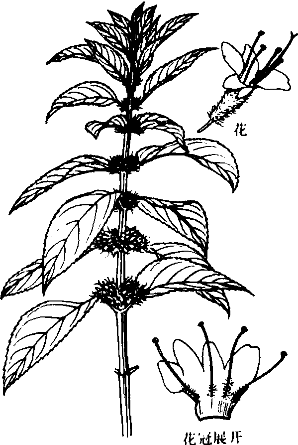 薄荷植物图