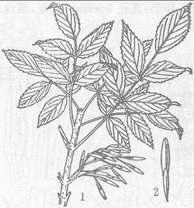 苦枥白蜡树
