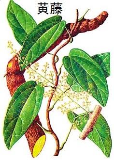 黄藤植物与药材图