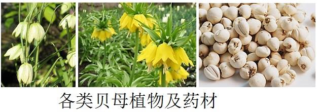 各类贝母植物及药材