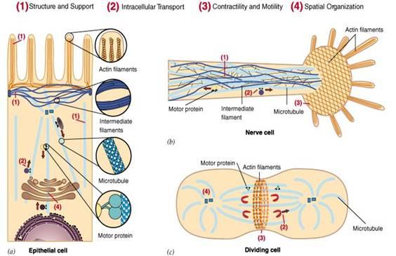 细胞骨架的主要功能