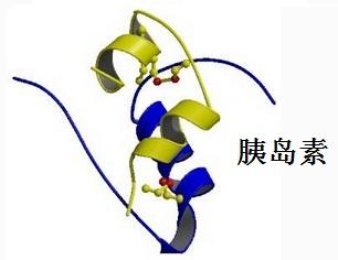 胰岛素的结构