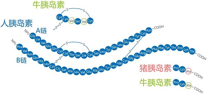 不同的胰岛素结构