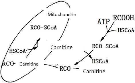 Transport of fatty acid in and outside of mitochondrial membrane