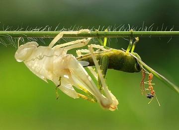 昆虫的蜕皮