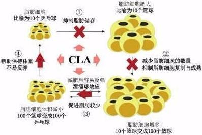 共轭亚油的生理功能