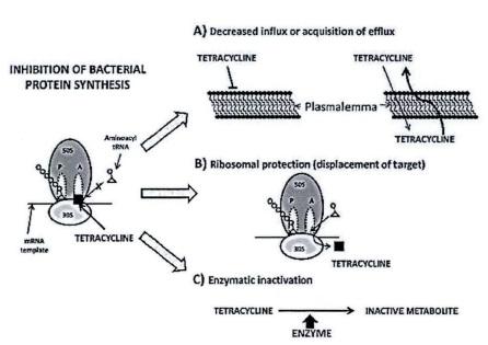 四环素抗性机理